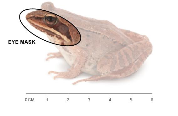 identification key of amphibians